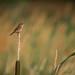 Marsh wren in field