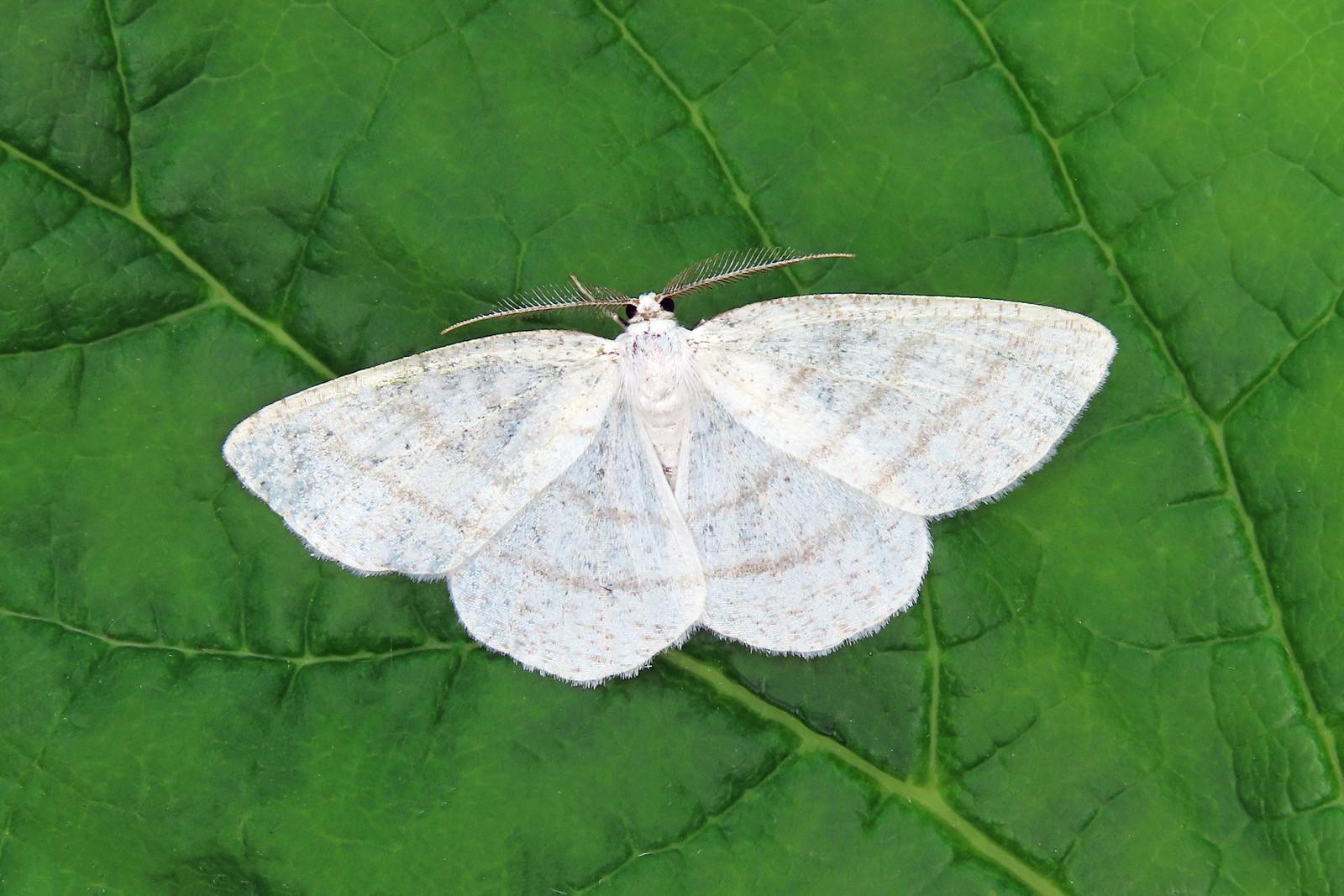70.277 Common White Wave-  Cabera pusaria
