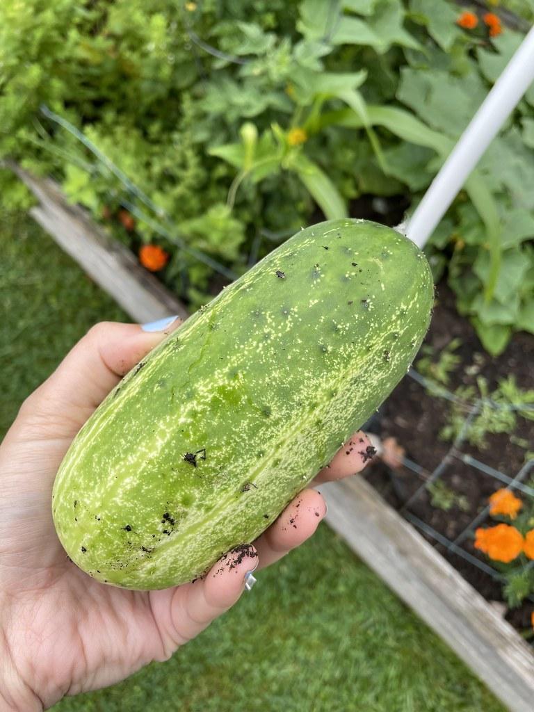 huge pickling cucumber