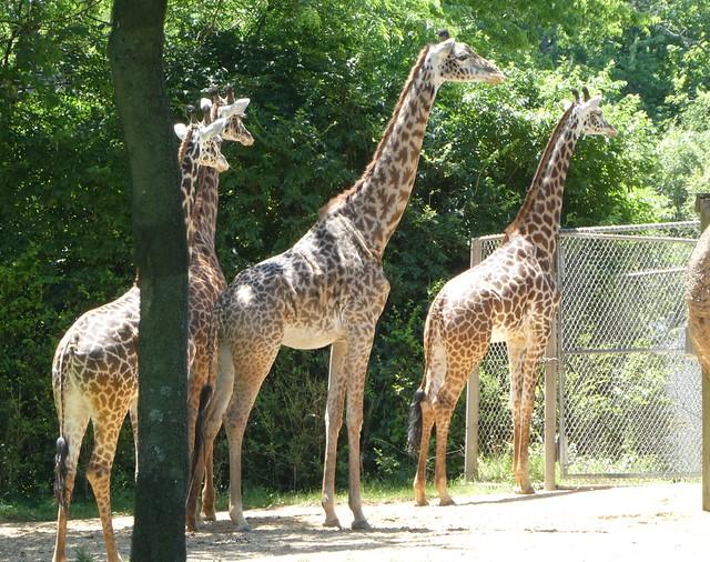 Nashville Zoo - Giraffes