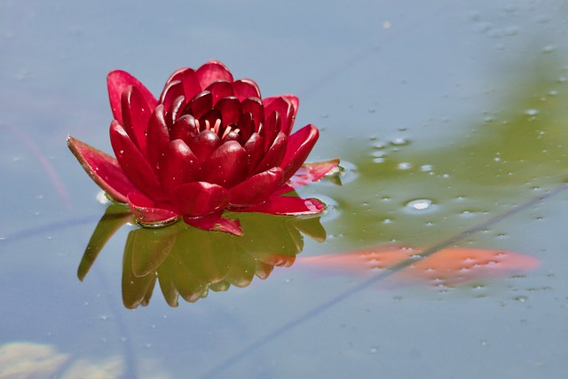 Waterlily / Nymphea