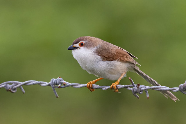 A Yellow-Eyed Babbler on a fence