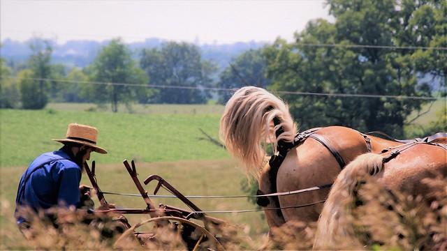 Amish Farmer In The Field Enjoying the
