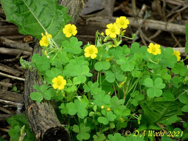 Yellow Wood-sorrel