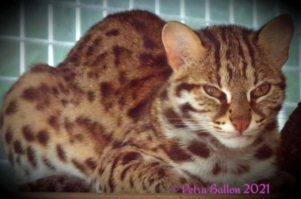leopardkatze