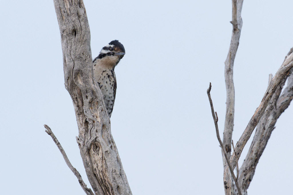 A female ladder-backed woodpecker clings to a dead tree branch early on a cloudy morning on the Chuckwagon Trail in McDowell Sonoran Preserve in Scottsdale, Arizona on March 1, 2020. Original: _RAC1325.arw