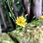 Common Nipplewort