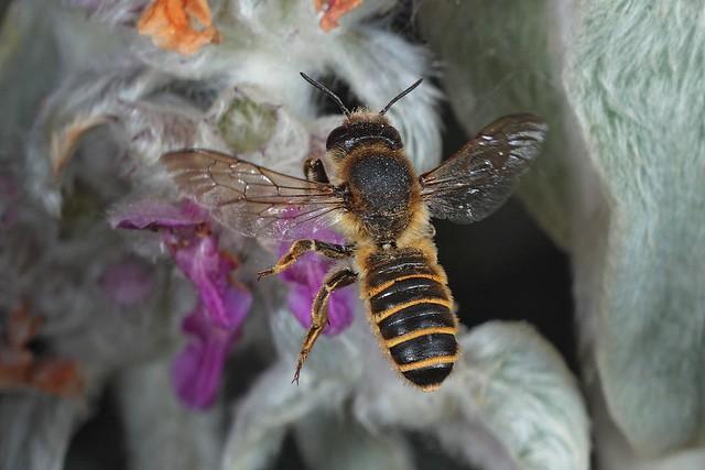 Rolf Nagel-Fl-3769-Megachile ericetorum