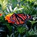 Monarch & Marigold