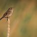 Marsh wren crop