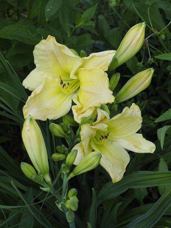 Hemerocallis 'Orhidee'
