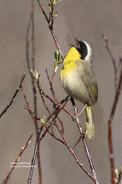 Common Yellowthroat male vocalizing
