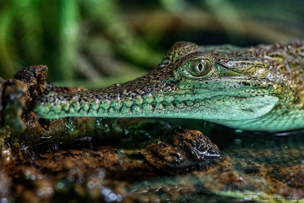 Saltwater crocodile.