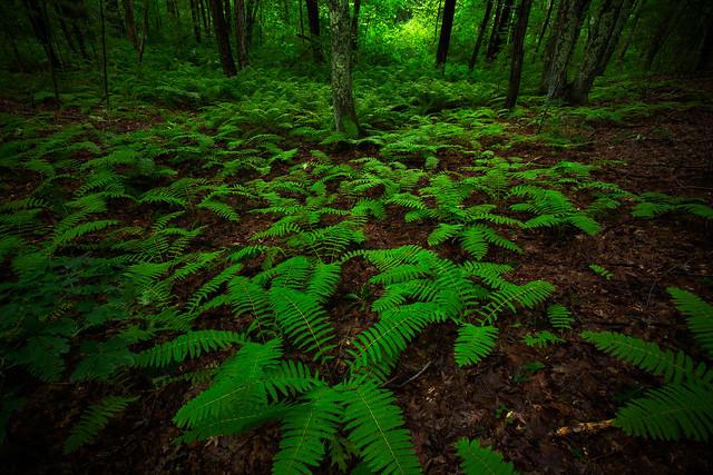 Fern-filled forest floor
