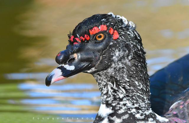 - PATO CRIOLLO - Muscovy duck (Cairina moschata ) toma en reserva ECO PARQUE .BUENOS AIRES ARGENTINA.  (explored)   .
