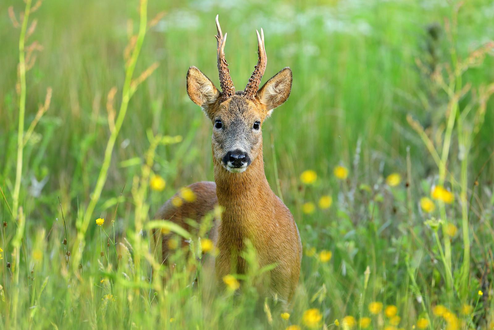 Mature Roe Deer Buck