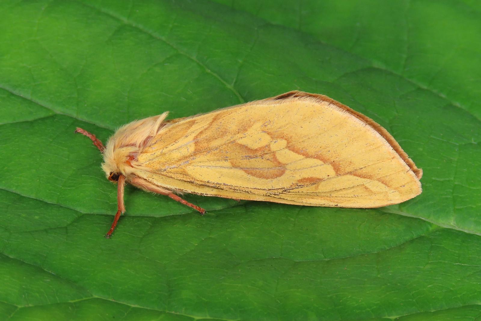 03.005 Ghost Moth - Hepialus humuli