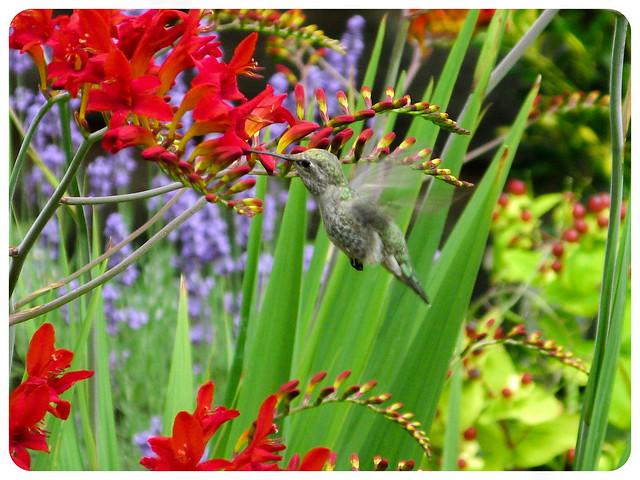 Hummingbird and Crocosmia