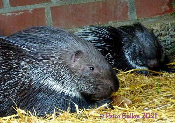 stachelschwein mit Nachwuchs