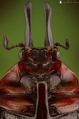 """Dicheros Bicornis Decorus"" Malaysia.... Male.."