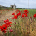 poppies in the countryside