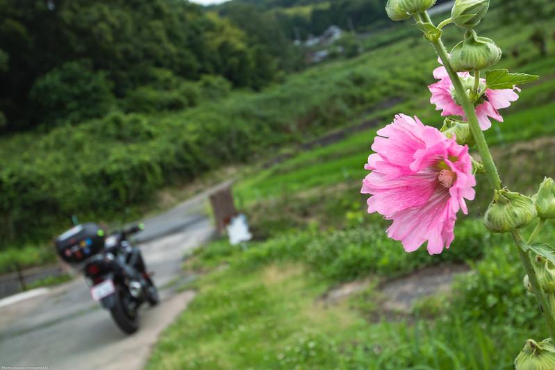 棚田の底に咲く花