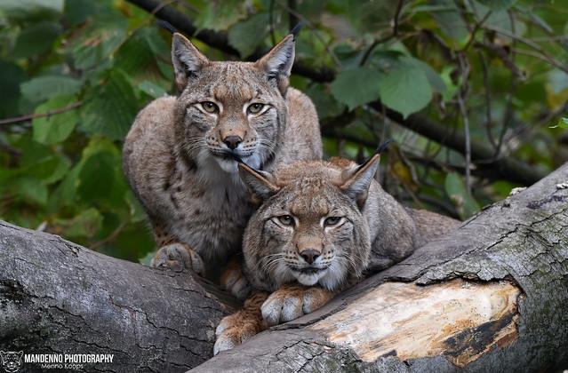 Eurasian lynxes - Zoo Duisburg