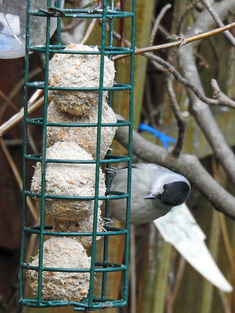 Blackcap (Sylvia atricapilla) male