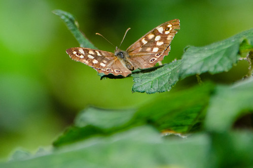 Speckled wood, resting