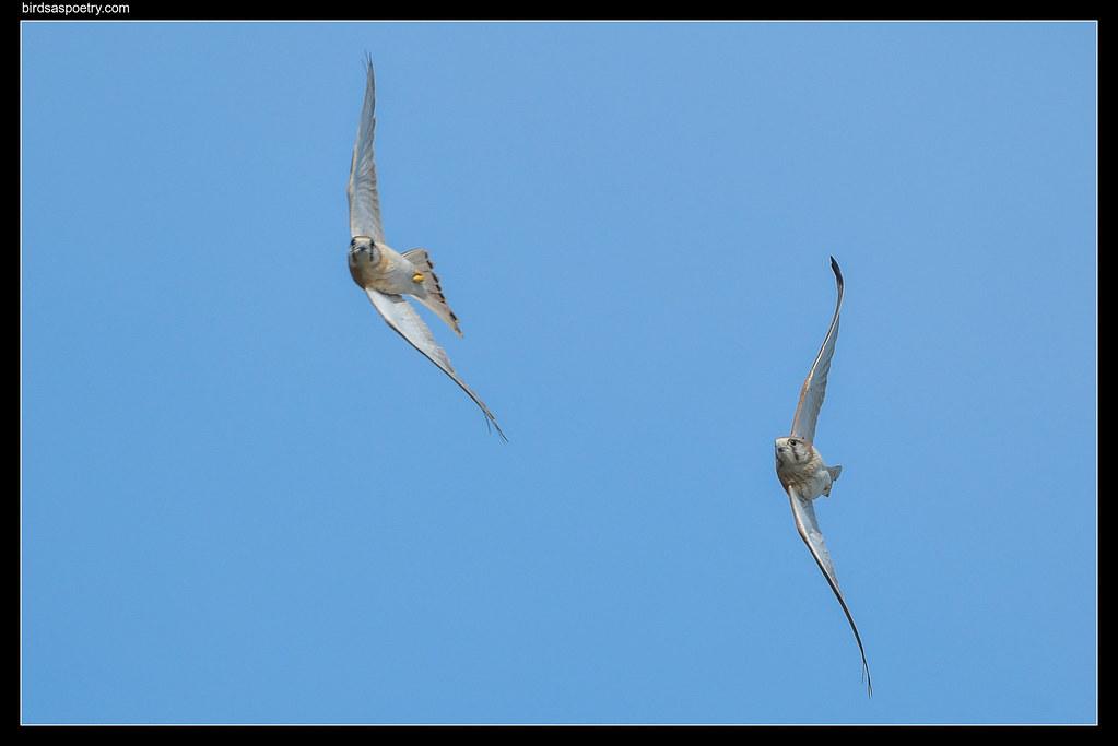 Nankeen Kestrel: Formation Flying Team Training