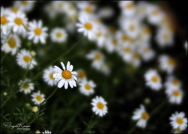 Tiny Daisies...