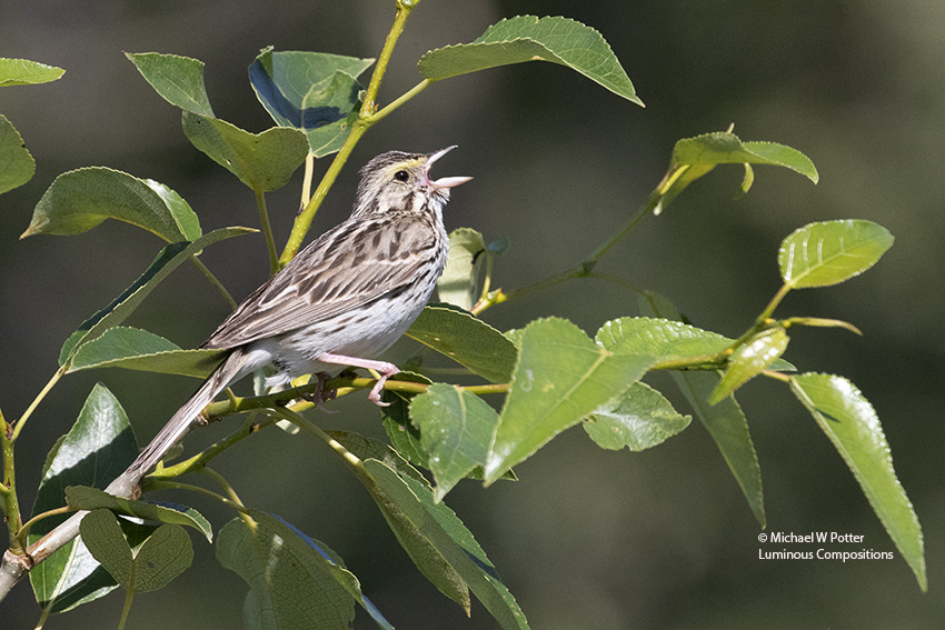 Savannah Sparrow vocalizing