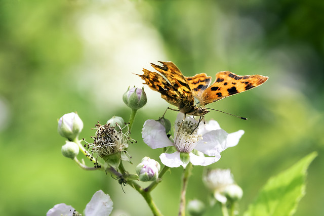 Comma, Worcestershire