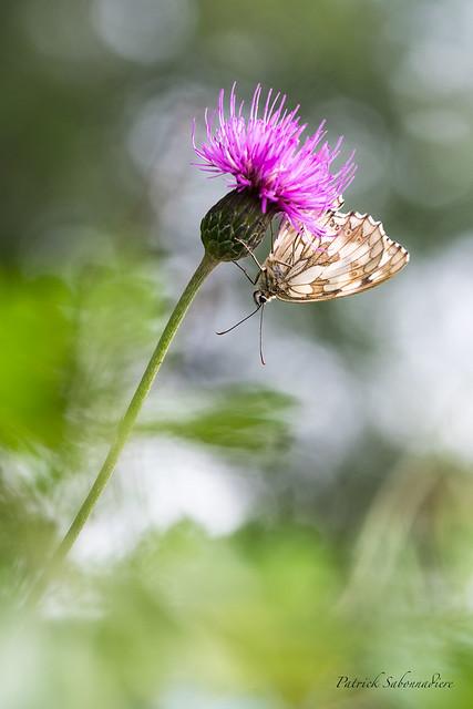 Papillon Demi Deuil sur Centaurée Scabieuse