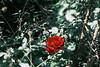 Found a hidden rose in our garden | July 11, 2021 | Segeberg district - Schleswig-Holstein - Germany