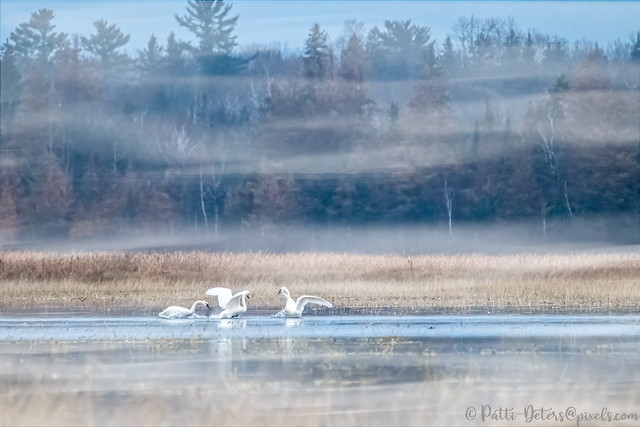 Swans Playing in the Morning Mist