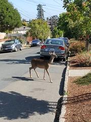 A deer in Albany