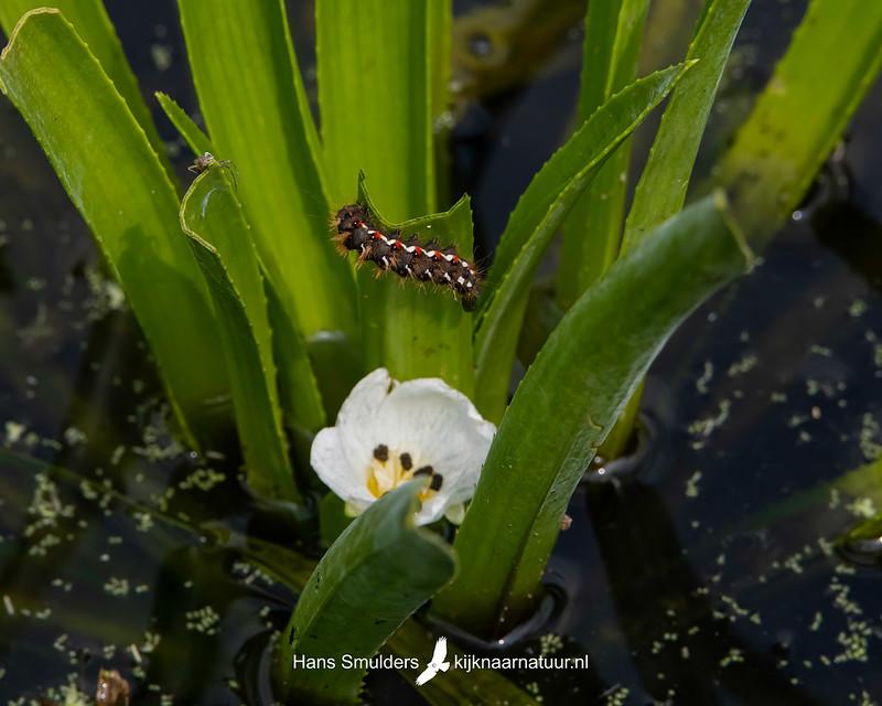 Krabbenscheer (Stratiotes aloides), zuringuil (Acronicta rumicis)-850_4262-bewerkt