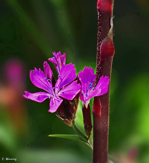 Candy Ribbons - Caryophyllales 0055