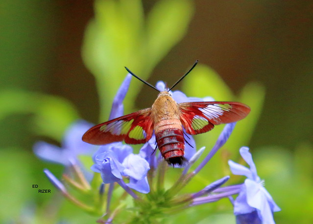 HUMMINGBIRD CLEARWING MOTH - The Beauty Of God's Creation, let's protect it. Bok Tower Gardens Lake Wales Florida USA 7/12/21 (EXPLORE)
