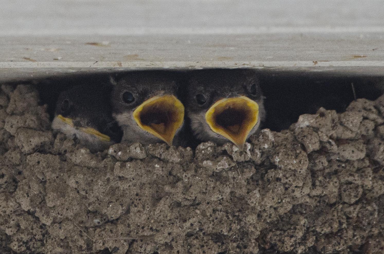 Hungrige Mehlschwalben im Nest
