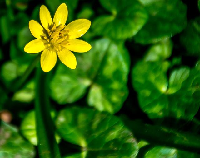 Celandine yellow