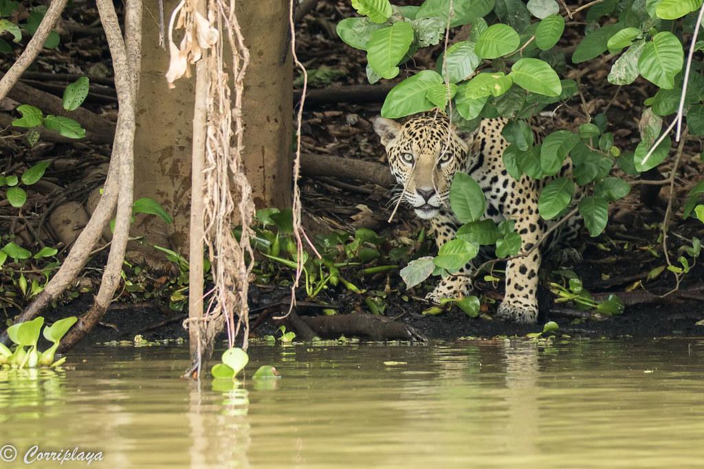 Jaguar, Panthera onca
