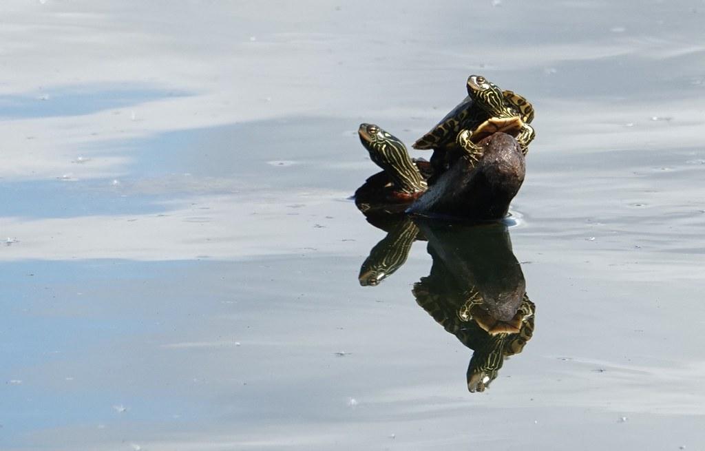 Map Turtles, Toronto lakeshore
