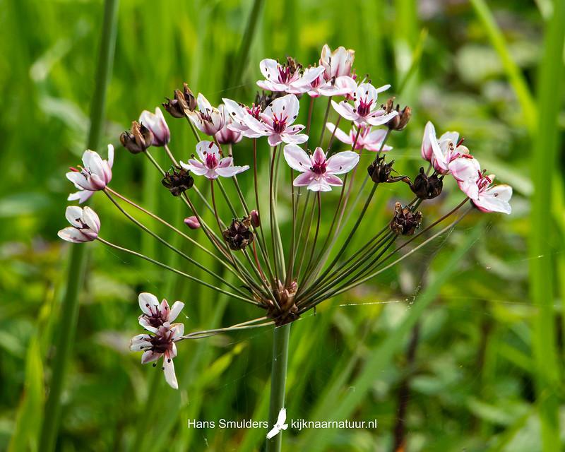 zwanenbloem (Butomus umbellatus)-850_4199-bewerkt