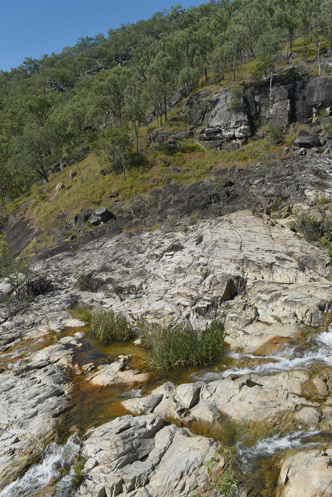 Typha domingensis, Emerald Ck Falls, near Mareeba, QLD, 06/06/21