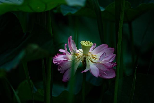 蓮 Lotus