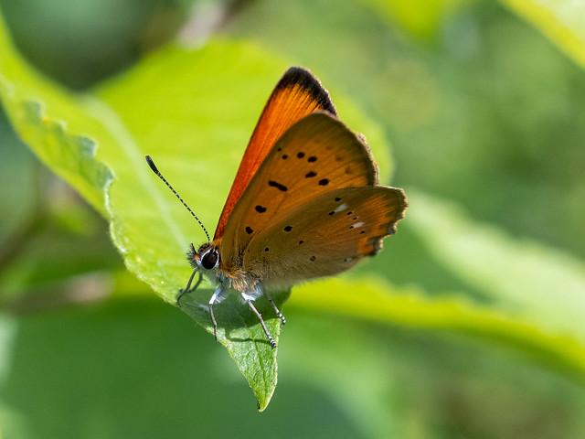 Oransjegullvinge, scarce copper (Lycaena virgaureae)