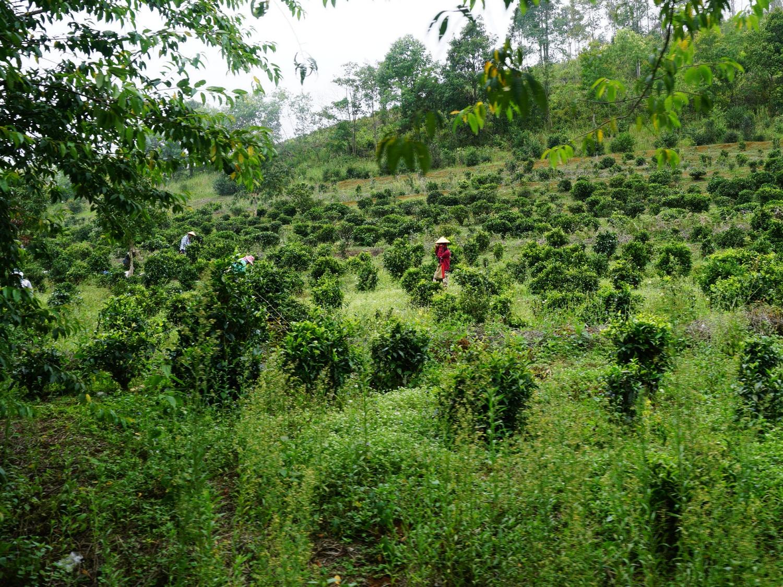 Ban Rak Thai tea plantation