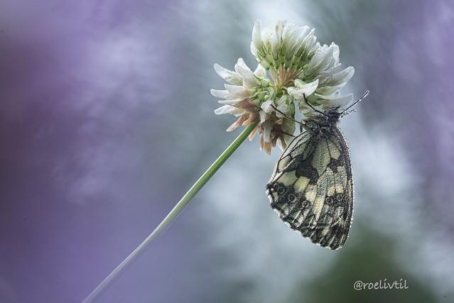 Vleugels / Wings